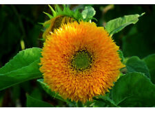 Sungold Dwarf Sunflower Flower Seeds Packet 2 GRAMS Bushy Yellow Blooms USA easy