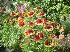 Blumensamen Set (28): 3 x Gaillardia Kokardenblume aus eigenem BIO-Garten