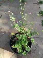 Pelargonium grossularioides PROFUMO DI COCCO ! PIANTA / PLANT