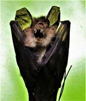 Real Blyth's Horseshoe Bat Rhinolophus lepidus Hanging FAST FROM USA