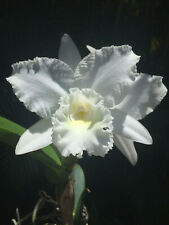 C White Reception 'Nn', orchid plant
