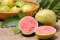 50 Seeds, Apple Guava Fruit Tree Psidium guajava Common Guayaba Pear Pink Yellow