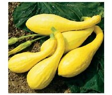 20 seeds Early Crookneck Summer Squash Golden Yellow Heirloom Cream 55 days