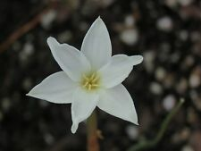 Rain Lily, Zephyranthes Chlorosolen, 1 bulb, habranthus