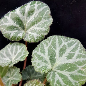 Strawberry Begonia ** Variegated Saxifraga Stolonifera  ** 1 indoor shade plant