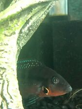 Firemouth x Convict Cichlid Babies 1-3 Months old (Sold In Groups Of 5)