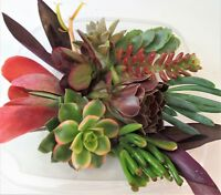 "10 SPECIAL LARGE SUCCULENT COLOR CUTTINGS + 2 bonus  LARGE 2-5"" UNIQUE, UNUSUAL"