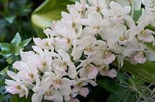 Orchid snow white, Young Plant, beautiful. Rhy Gig. FREE WORLD POST