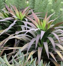 DESMETIANA YUCCA hardy architectural green to purple foliage plant in 180mm pot