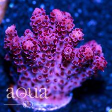 Asd - 002 Strawberry Acropora - Wysiwyg - Aqua Sd Live Coral Frag
