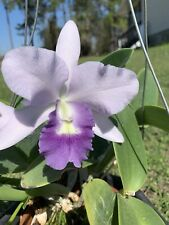 Orchid Plant Lc. Final blue 'Royal Purple' Bloomed.