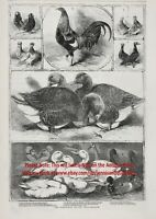 Bird Pigeon Duck Poultry Chicken Champions Named, 1850s Antique Engraving Print