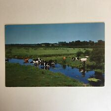 Dairy Cattle in Pasture Creek Unposted Postcard