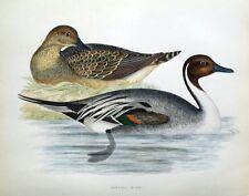 PINTAIL DUCK, Beverley Morris original antique bird print 1855