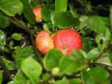 Apple Tree Summer Fruit Plants