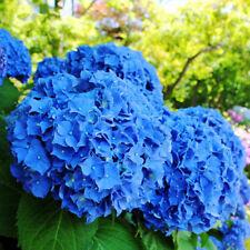 50pcs/bag Rare Blue Hydrangea Flowers Seeds For Home Yard Plants Perennial Seeds