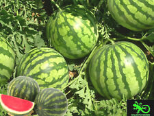 50 SEMI ANGURIA MINI 50 SEEDS MINI WATERMELON ITALIA