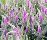 SPIKED SPEEDWELL ROYAL CANDLES DWARF Veronica Spicata - 250 Bulk Seeds