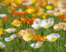 ALPINE POPPY MIX - 1700 seeds - Papaver alpinum - PERENNIAL FLOWER