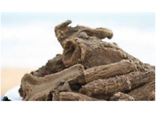 250 gm Kushta Roots, Saussurea Lappa (Costus), Indian Raw & Whole Herbs fre ship
