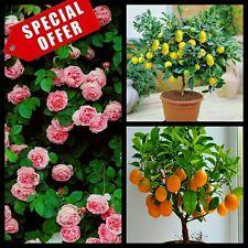 Hybrid seeds - climbing pink rose, lemon, orange bonsai plant seed 10 seeds each