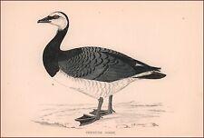 Barnicle Goose, hand colored, Morris wood block, antique, original 1870