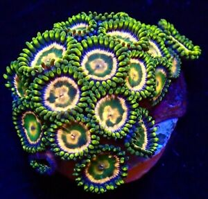 M.O.C. PINK MOJITO ZOANTHID FRAG 8+ POLYPS/SOFTCORAL/MARINE