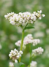 200 Buckwheat Fagopyrum Esculentum Flower Grain Cover Seeds + Gift & Comb S/H