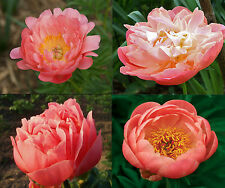 1x Herbaceous CORAL Peony (Paeonia lactiflora) MIX Chinese Rose peonie peonies
