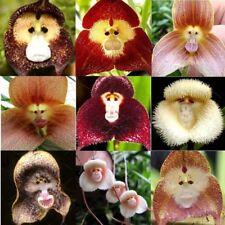 10 Pcs Rare Monkey Face Orchid Seeds Dracula Cute Simia Flower Garden Plant S093