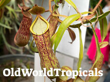 Nepenthes Alata Pitcher Plant Live Carnivorous Tropical Exotic