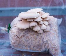 Mushroom Spawn Seeds - White Oyster p.ostreatus v.florida Mycelium Spores 100g