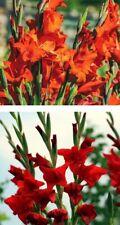 Rote Riesen Gladiolen winterharte schnellwüchsig Blumen Pflanzen für den Garten