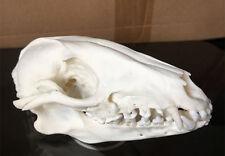 Real XL white Fox Skull Animal Bone Decor Unique Birthday Gift man cave western