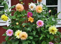 30 Dahlia Showtime-Showpiece Flower Seeds - For Spring Planting
