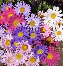Aster Single mix 100 seeds * Cut flower * Gorgeous * CombSH I35