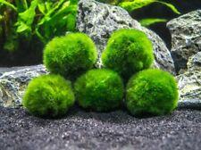 Marimo Moss 5 Balls Cladophora 1.6 inch (4cm) Live Plant Aquarium USA Seller