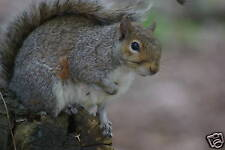 Gray Squirrel Taxidermy Reference Photo Cd