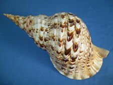 HUGE Charonia tritonis- Tritons Trumpet,403 mm length( 15.86 inch) color/pattern