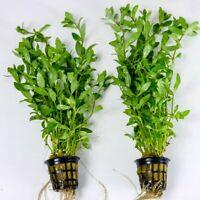 Hygrophila polysperma- piante per acquario d'acqua dolce a crescita veloce