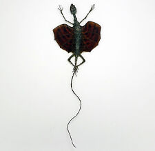 Real A1 Taxidermy RED Draco Flying Lizard Indonesian Collectors Specimen
