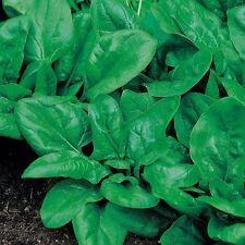 Kings Seeds - Spinach Matador - 225 Seeds