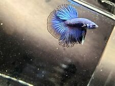 New listing Royal Blue Halfmoon Betta, Subadult, Tropical Fish, Dragonscale