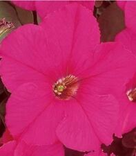 50 Pelleted Petunia Seeds Supercascade Rose