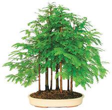50 seeds of mini Dawn Redwood Forest bonsai tree Metasequoia glyptostroboides