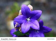 Blaue Ballonblume Platycodon grandiflorus winterhart Steingarten 50 Samen
