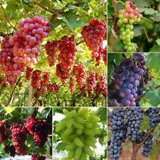 50 Mixed Grape Vitis Vinifera Delicious Fresh Fruit Bulk Garden Seeds Home Decor