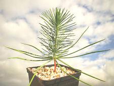 2x Umbrella Pine evergreen tree blue green needles PINUS PINEA plant, edible