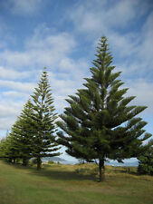 Pinyon Pine Pinus Edulis Tree Seeds, Bonsai, EverGreen (5 seeds) T-064