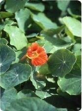 Flower - Nasturtium - Vesuvius - 500 Seeds - Large